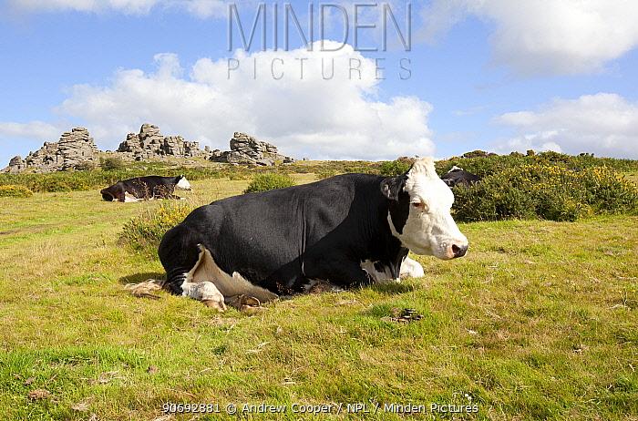 Black Hereford cross cattle (Bos taurus) Hound Tor, Dartmoor National Park, UK, August  -  Andrew Cooper/ npl