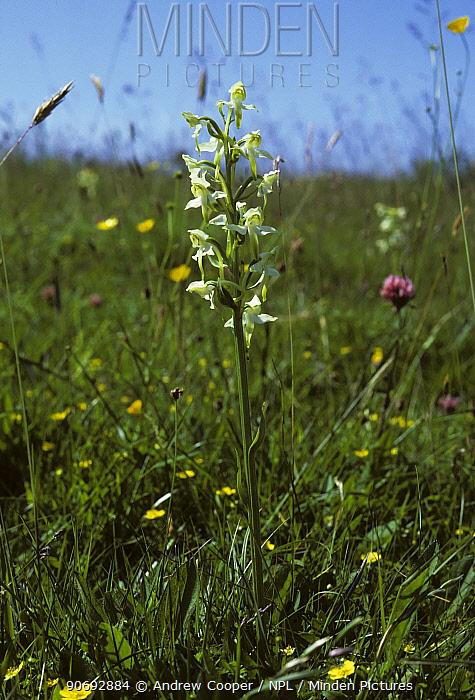 Butterfly Orchid (Anacamptis coriophora) among meadow flowers Dartmoor National Park, UK, August  -  Andrew Cooper/ npl