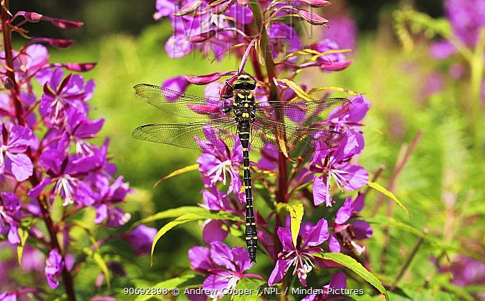 Golden Ringed Dragonfly (Cordulegaster boltonii) on Rosebay Willow Herb (Epilobium) Devon, UK, July  -  Andrew Cooper/ npl