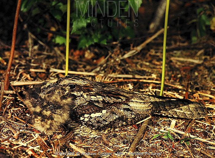 Nightjar (Caprimulgus europaeus) feeding two chicks Devon, UK  -  Andrew Cooper/ npl