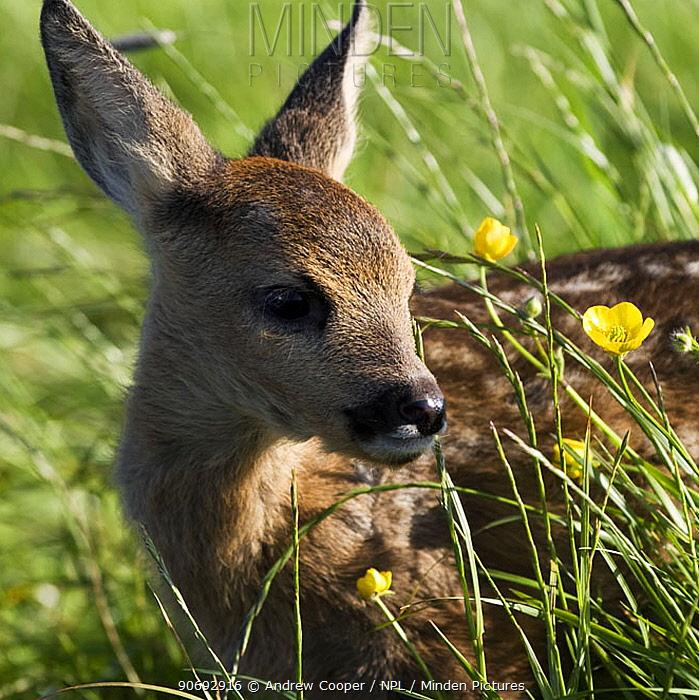 Roe Deer (Capreolus capreolus) fawn, Devon, UK, June  -  Andrew Cooper/ npl