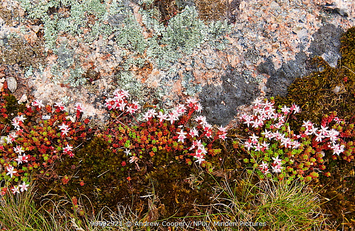 Stonecrop (Sedum) and lichen on rock Devon, UK, June  -  Andrew Cooper/ npl