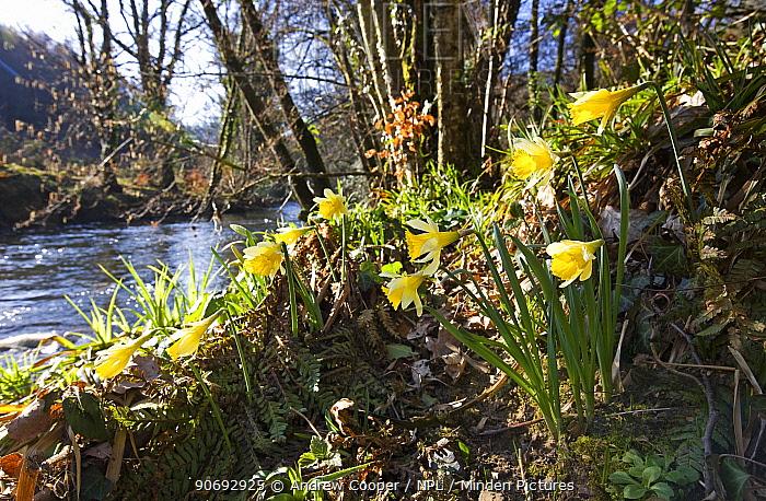 Wild Daffodils (Narcissus pseudonarcisus) by River Dunsford Devon, UK, March  -  Andrew Cooper/ npl