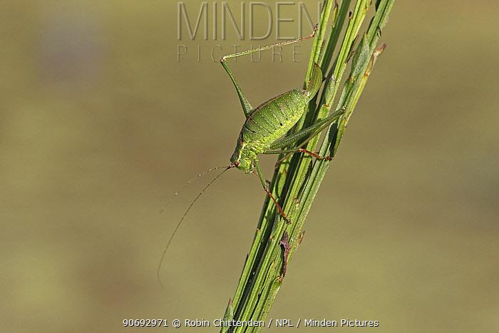 Speckled Bush-cricket (Leptophyes punctatissima) Mousehold Heath, Norwich, Norfolk, UK, October  -  Robin Chittenden/ npl