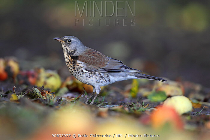 Fieldfare (Turdus pilaris) Strumpshaw Fen, RSPB, Norfolk, UK, November  -  Robin Chittenden/ npl