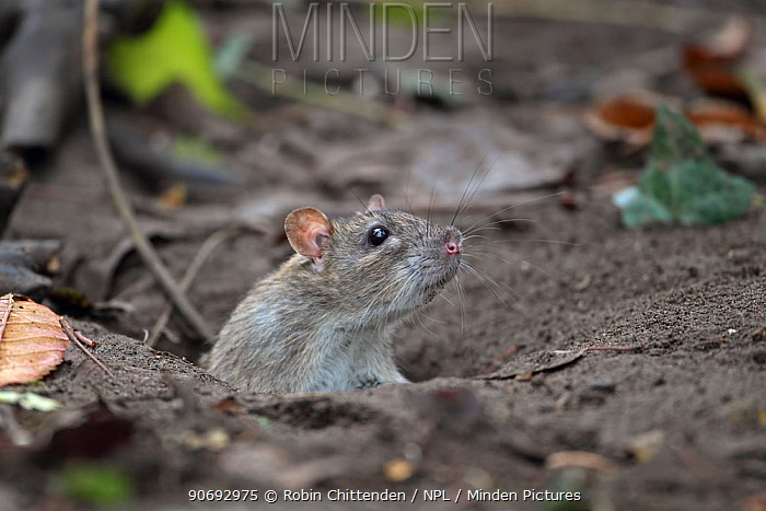 Brown Rat (Rattus norvegicus) peeking out of a burrow, Strumpshaw Fen, RSPB reserve, Norfolk, UK, November  -  Robin Chittenden/ npl