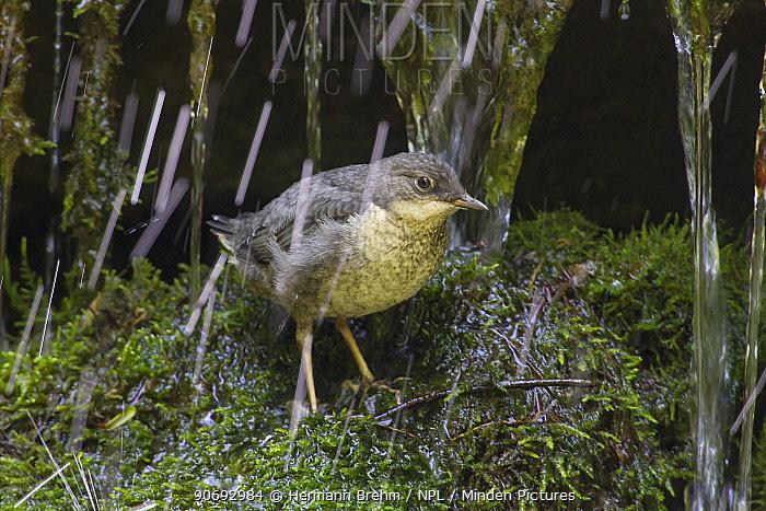 Dipper (Cinclus cinclus) juvenile under waterfall, Germany, May  -  Hermann Brehm/ npl