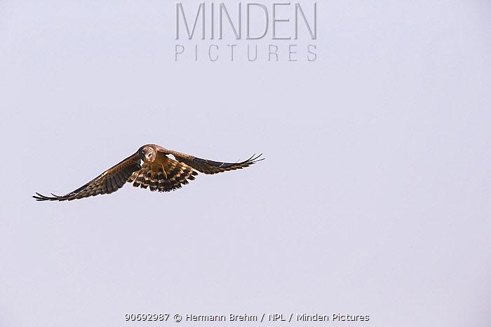 Montagu`s Harrier (Circus pygargus) juvenile in flight, Germany, September  -  Hermann Brehm/ npl