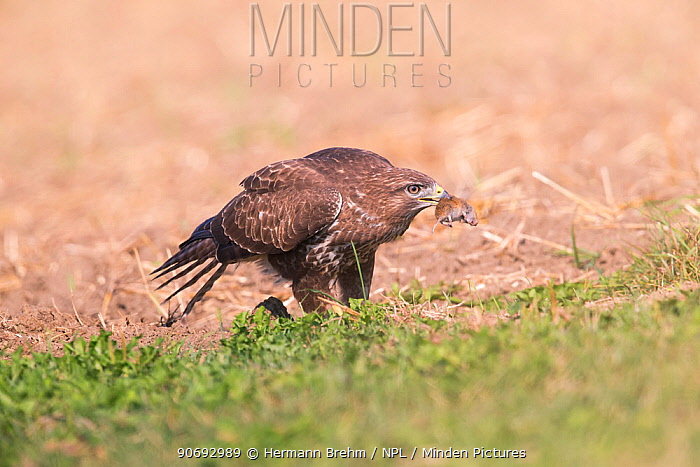 Common Buzzard (Buteo buteo) with mouse it has just caught, Germany, September  -  Hermann Brehm/ npl