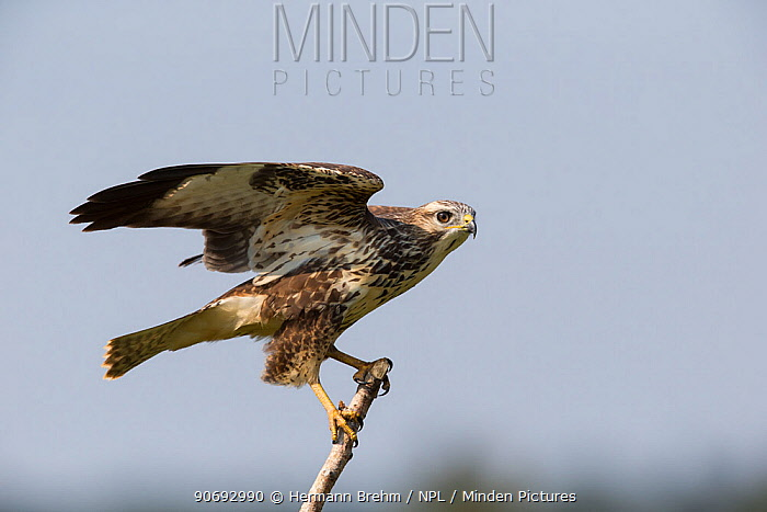Common Buzzard (Buteo buteo) about to take off from branch, Germany, September  -  Hermann Brehm/ npl