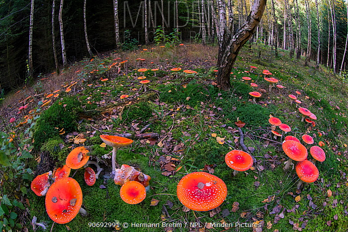 Fly Agaric (Amanita muscaria) toadstools in woodland, Germany, October  -  Hermann Brehm/ npl