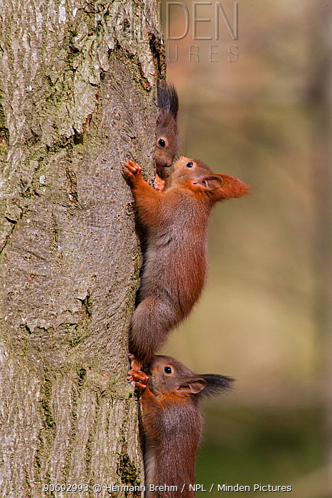 Red Squirrel (Sciurus vulgaris) babies playing, Germany, March  -  Hermann Brehm/ npl