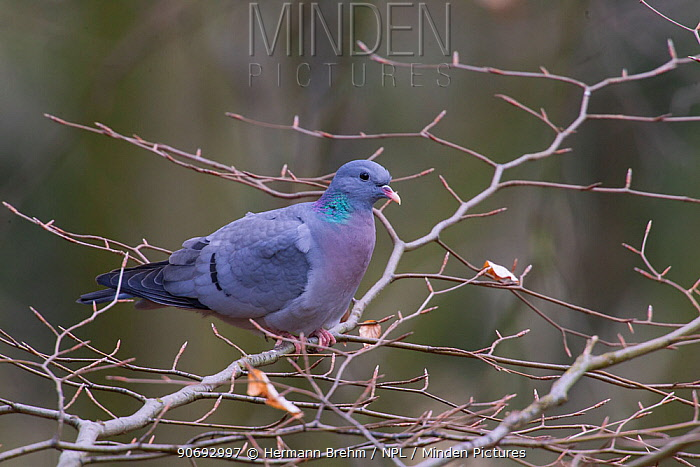 Stock Dove (Columba oenas) perched on bare branches, Germany, March  -  Hermann Brehm/ npl