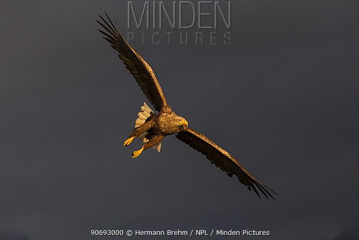 White-tailed Eagle (Haliaeetus albicilla) in flight, Norway, June  -  Hermann Brehm/ npl