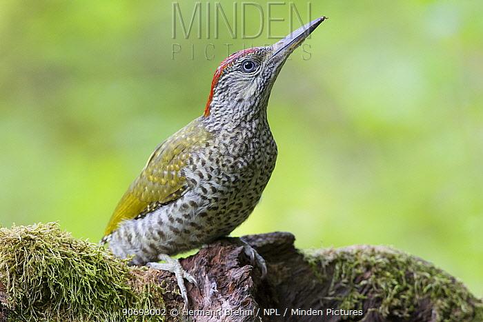 Green Woodpecker (Picus viridis) juvenile, Germany  -  Hermann Brehm/ npl