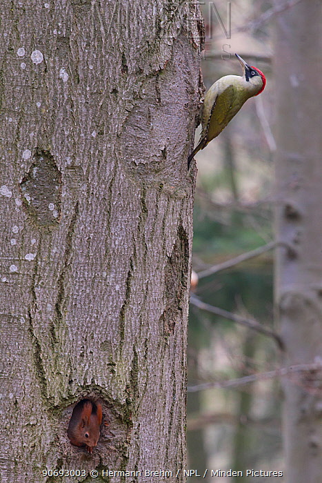 Green Woodpecker (Picus viridis) female on tree trunk and with Red Squirrel (Red squirrel) emerging from hole in the tree, Germany, April  -  Hermann Brehm/ npl