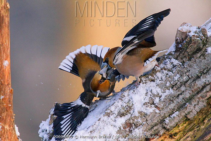 Hawfinches (Coccothraustes coccothraustes) fighting, Germany, February  -  Hermann Brehm/ npl