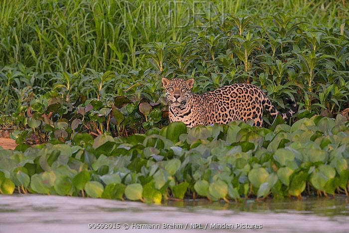 Jaguar (Panthera onca) male standing near river edge, Pantanal, Brazil  -  Hermann Brehm/ npl