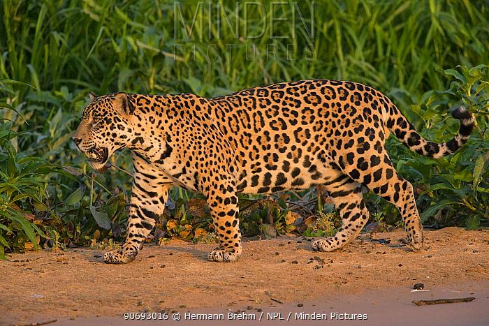 Jaguar (Panthera onca) male walking and snarling, Pantanal, Brazil  -  Hermann Brehm/ npl