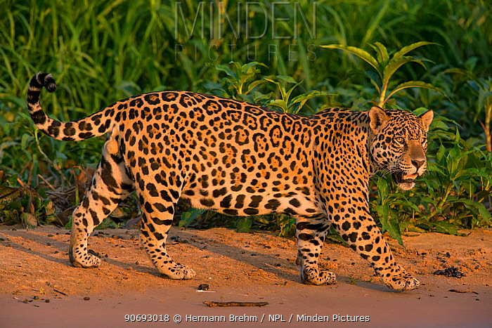 Jaguar (Panthera onca) male walking, Pantanal, Brazil  -  Hermann Brehm/ npl