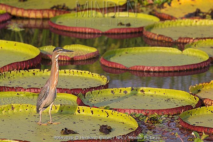 Striated Heron (Butoriodes striatus) on Giant water Lily, Pantanal, Brazil  -  Hermann Brehm/ npl