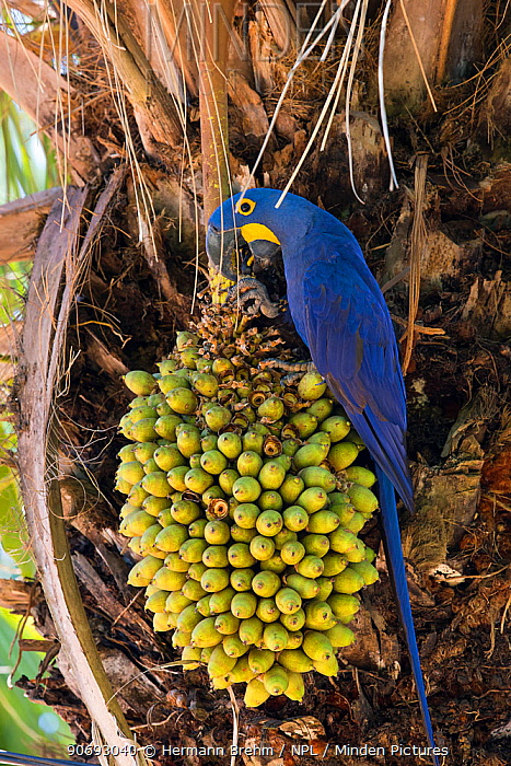 Hyacinth Macaw (Anodorhynchus hyacinthinus) eating nuts of Acari Palm, one of their favourite foods, Pantanal, Brazil  -  Hermann Brehm/ npl