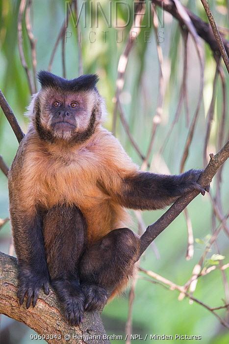 Brown Capuchin Monkey (Cebus apella) dominant male, Mato Grosso do sul, Brazil  -  Hermann Brehm/ npl