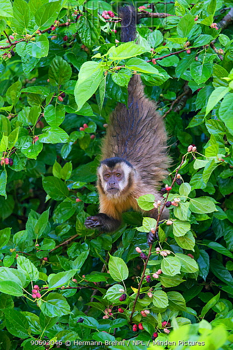 Brown Capuchin Monkey (Cebus apella) female, Mato Grosso do sul, Brazil  -  Hermann Brehm/ npl