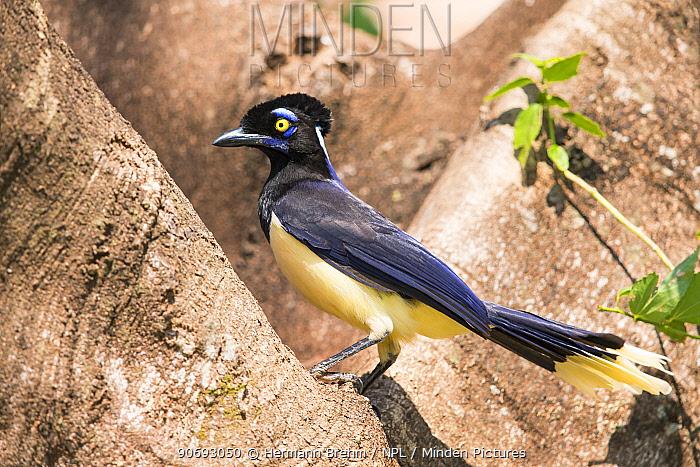 Plush-crested Jay (Cyanocorax chrysops), Mato Grosso do sul, Brazil  -  Hermann Brehm/ npl