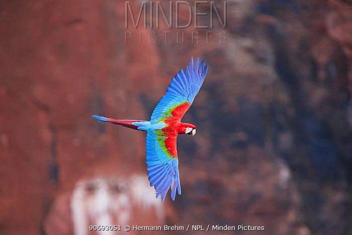 Red-and-Green Macaw (Ara chloropterus), Mato Grosso do sul, Brazil  -  Hermann Brehm/ npl