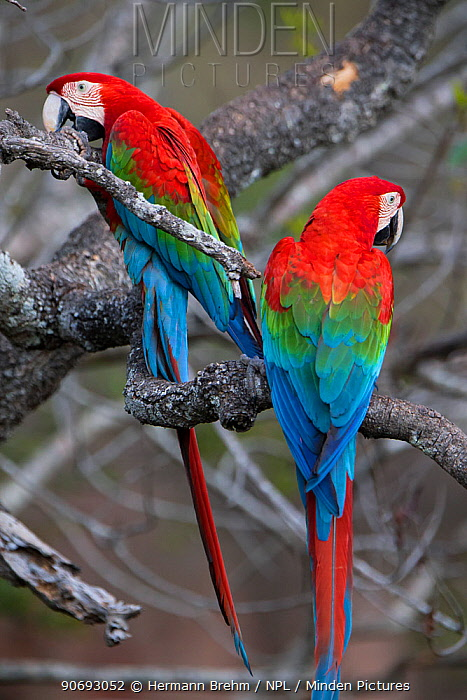 Red-and-Green Macaws (Ara chloropterus), Mato Grosso do sul, Brazil  -  Hermann Brehm/ npl