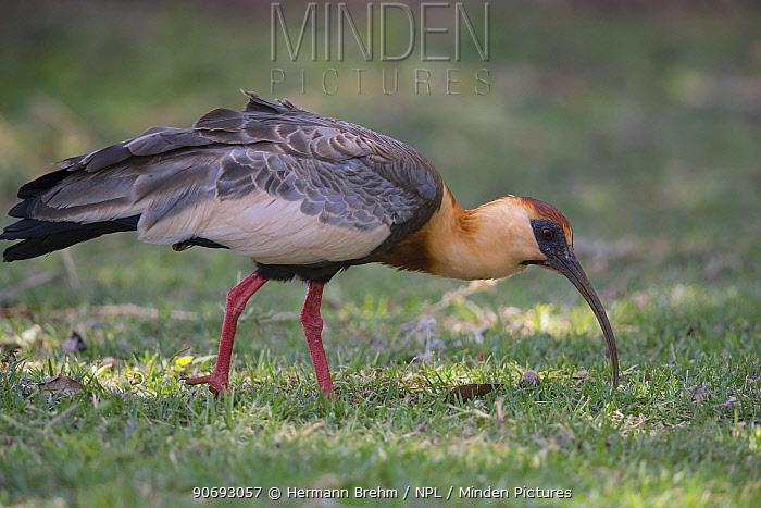 Buff-necked ibis (Theristicus caudatus hyperorius) foraging, Mato Grosso do sul, Brazil  -  Hermann Brehm/ npl