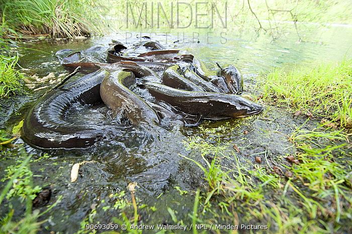 New Zealand Longfin Eels (Anguilla dieffenbachii) group in shallow water New Zealand, October  -  Andrew Walmsley/ npl