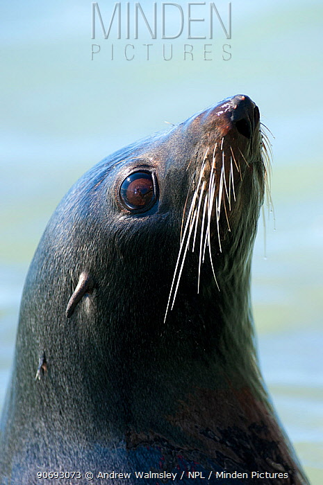New Zealand Fur Seal (Arctocephalus forsteri) head portrait Kaikoura, New Zealand, October  -  Andrew Walmsley/ npl