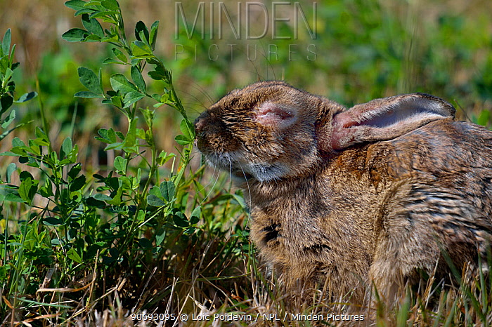 European Rabbit (Oryctolagus cuniculus) suffering from myxomatosis West France, June  -  Loic Poidevin/ NPL