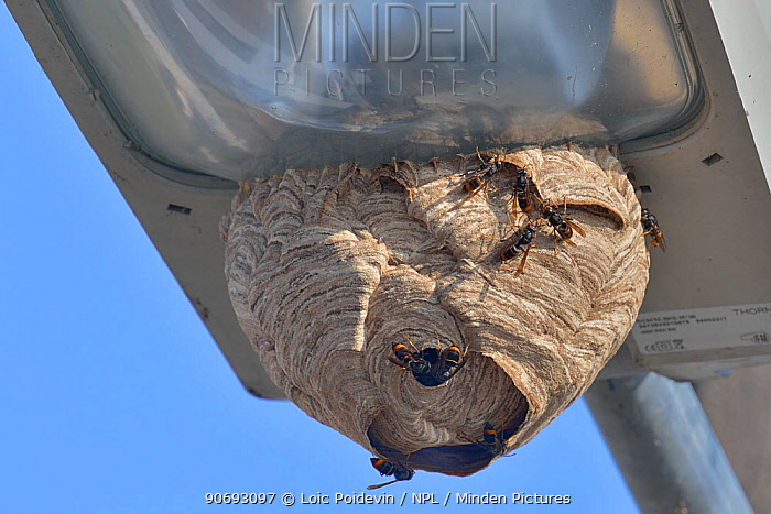 Asian Wasp (Vespa velutina) nest on street light West France, Nantes, September  -  Loic Poidevin/ NPL