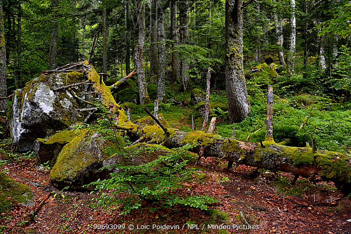 Moss-covered dead tree, near rapids 'du pas de l'ours' French Pyrenees, September 2012  -  Loic Poidevin/ NPL