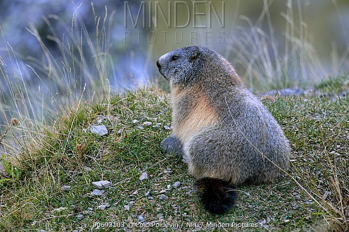 Alpine Marmot (Marmota marmota) French Pyrenees, September  -  Loic Poidevin/ NPL