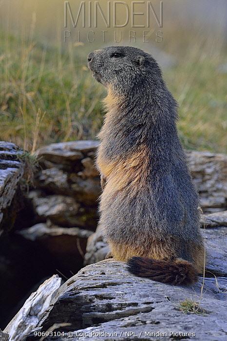 Alpine Marmot (Marmota marmota), standing on hind legs French Pyrenees, September  -  Loic Poidevin/ NPL