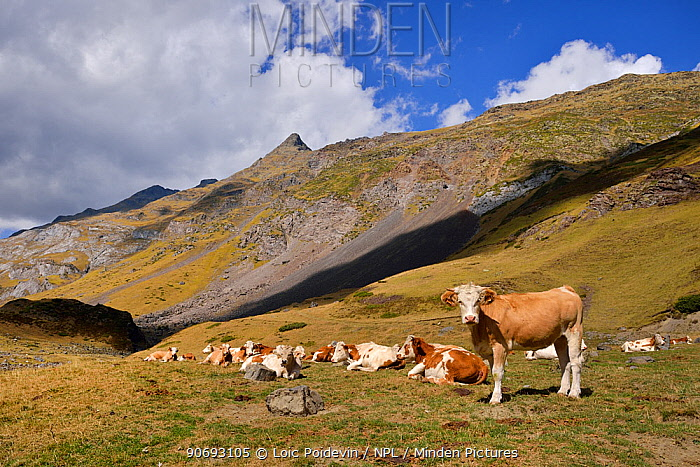 Montbaliarde Cattle (Bos taurus) herds in the mountain landscapes Ossoue valley, French Pyrenees, September  -  Loic Poidevin/ NPL