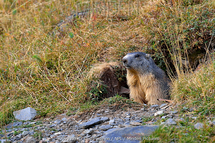 Alpine Marmot (Marmota marmota) emerging from burrow French Pyrenees, September  -  Loic Poidevin/ NPL
