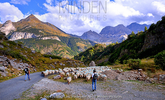 Sheep (Ovis aries) flock in mountain landscape, being herded by shepherds along road Ossoue valley, French Pyrenees, September  -  Loic Poidevin/ NPL