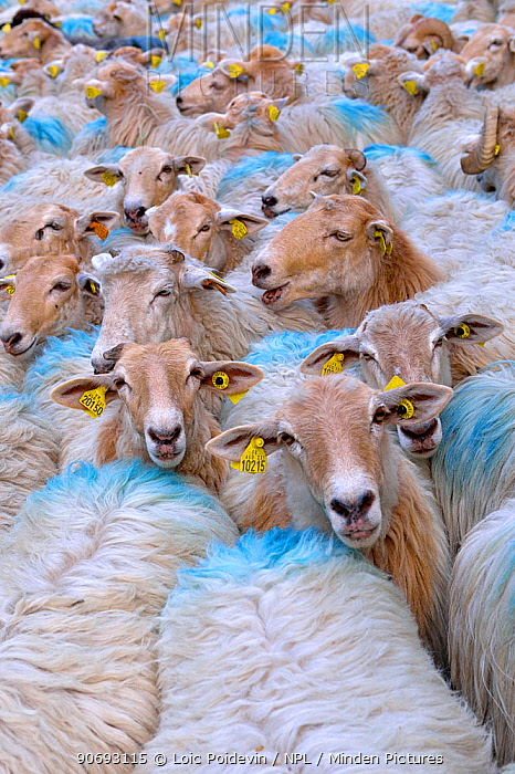 Sheep (Ovis aries) flock herded together with ear tags and paint markings Ossoue valley, French Pyrenees, September  -  Loic Poidevin/ NPL