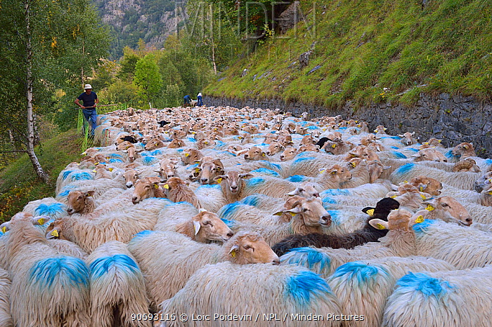 Sheep (Ovis aries) flock, being herded by shepherd along road Ossoue valley, French Pyrenees, September  -  Loic Poidevin/ NPL