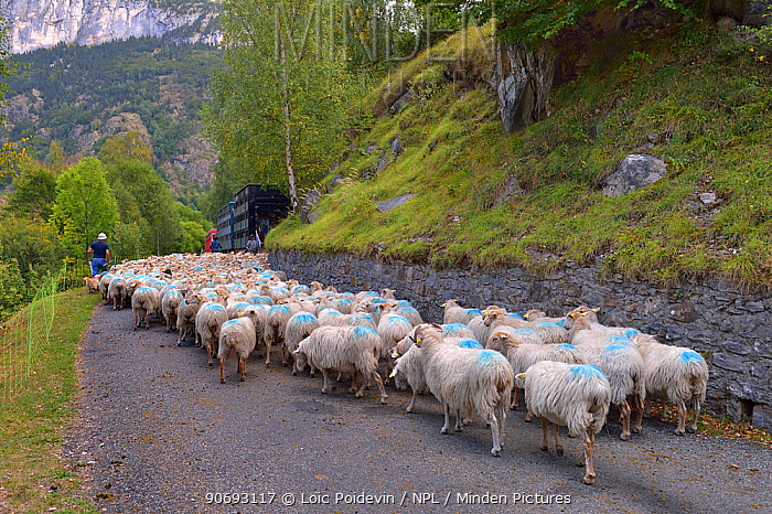 Sheep (Ovis aries) flock, being herded by shepherds and dogs along road Ossoue valley, French Pyrenees, September  -  Loic Poidevin/ NPL