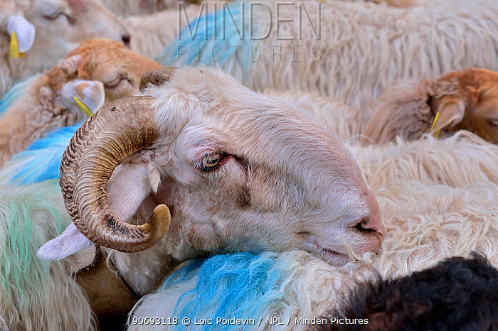 Sheep (Ovis aries) flock Ossoue valley, French Pyrenees, September  -  Loic Poidevin/ NPL