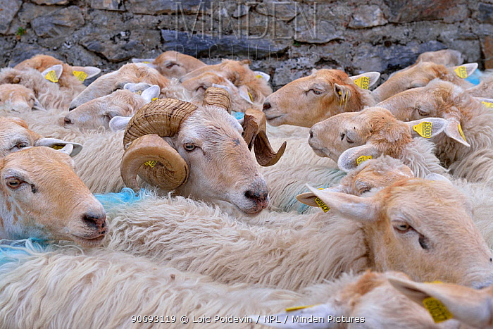 Sheep (Ovis aries) flock, male surrounded by females Ossoue valley, French Pyrenees, September  -  Loic Poidevin/ NPL