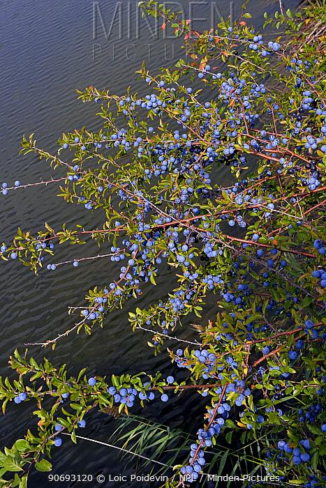 Blackthorn (Prunus spinosa) with sloe berries French Pyrenees, September  -  Loic Poidevin/ NPL