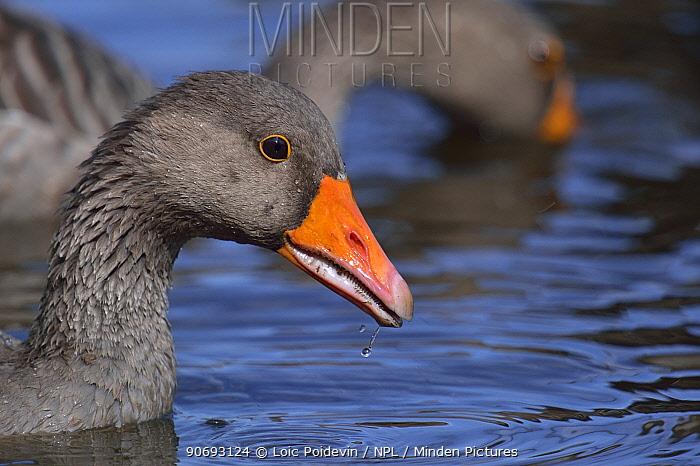 Greylag Goose (Anser anser) on water Gironde, west France, September  -  Loic Poidevin/ NPL