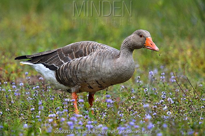 Greylag Goose (Anser anser) in grass and flowers Gironde, west France, September  -  Loic Poidevin/ NPL